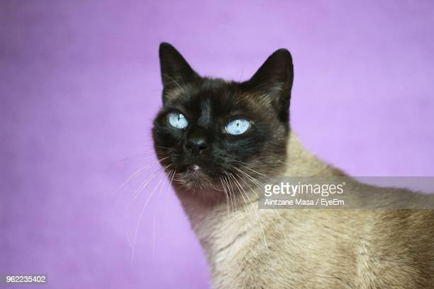close-up of siamese cat against purple background - black siamese cat stock pictures, royalty-free photos & images