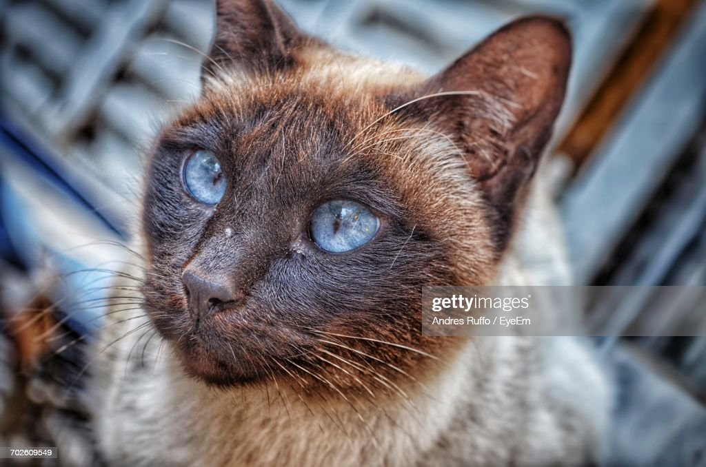Close-Up Of Siamese Cat Looking Away : Foto de stock