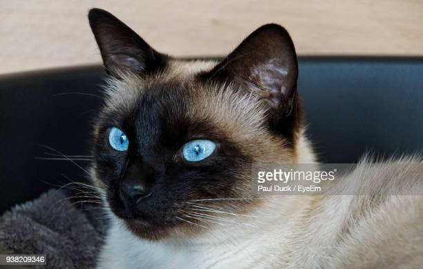 Close-Up Of Siamese Cat Looking Away While Resting On Seat