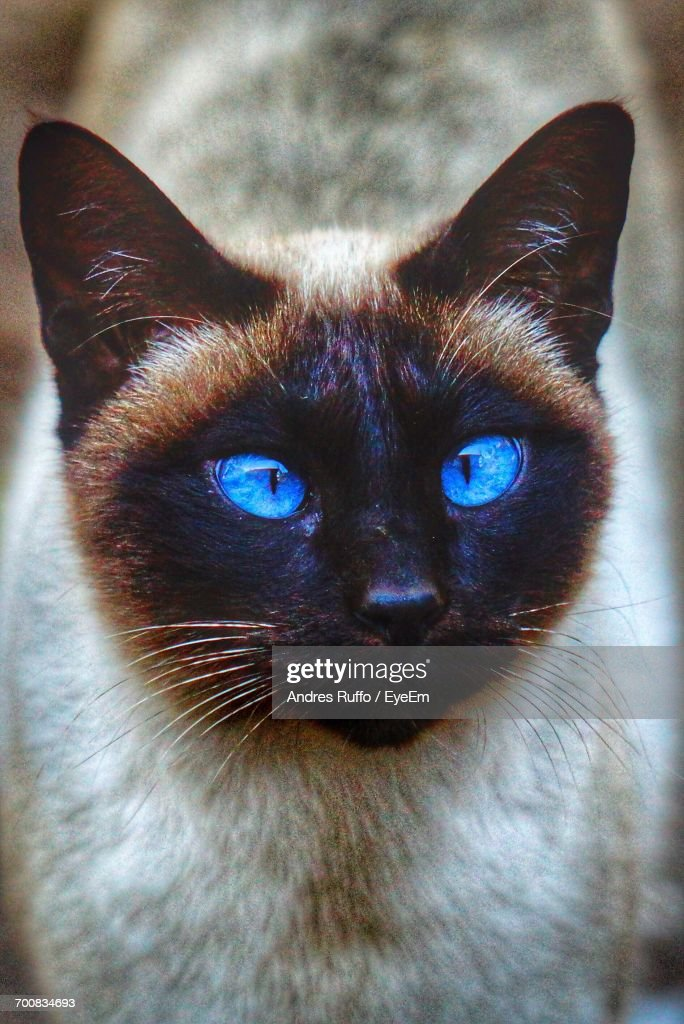 Close-Up Of Siamese Cat Looking Up : Stock Photo