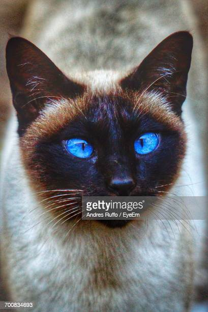 Close-Up Of Siamese Cat Looking Up