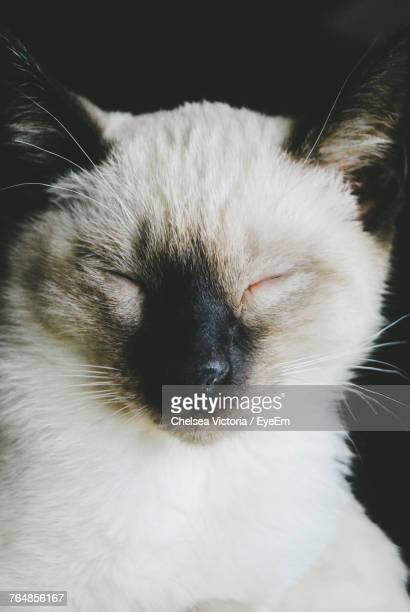 Close-Up Of Siamese Cat Sleeping Against Black Background