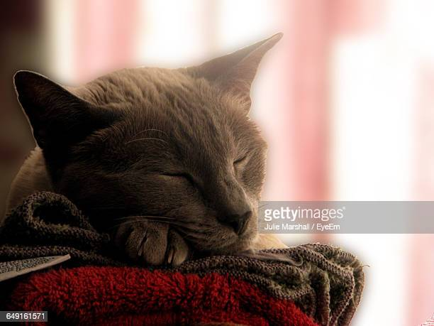 Close-Up Of Siamese Cat Sleeping At Home