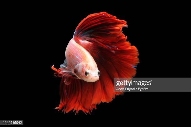 close-up of siamese fighting fish against black background - 熱帯魚 ストックフォトと画像