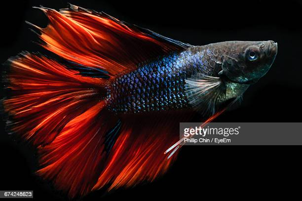 60 Top Siamese Fighting Fish Pictures, Photos and Images