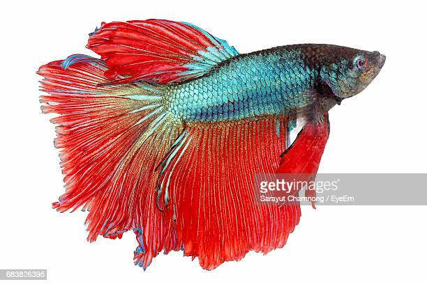 Close-Up Of Siamese Fighting Fish Against White Background