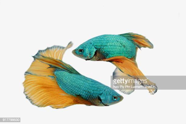 close-up of siamese fighting fish against white background - siamese fighting fish stock pictures, royalty-free photos & images