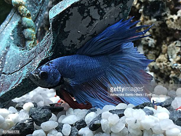 Close-Up Of Siamese Fighting Fish In Fish Tank