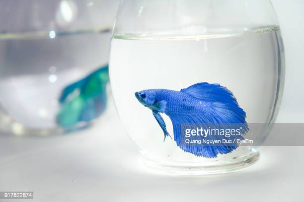 close-up of siamese fighting fish in fishbowls against white background - siamese fighting fish stock pictures, royalty-free photos & images