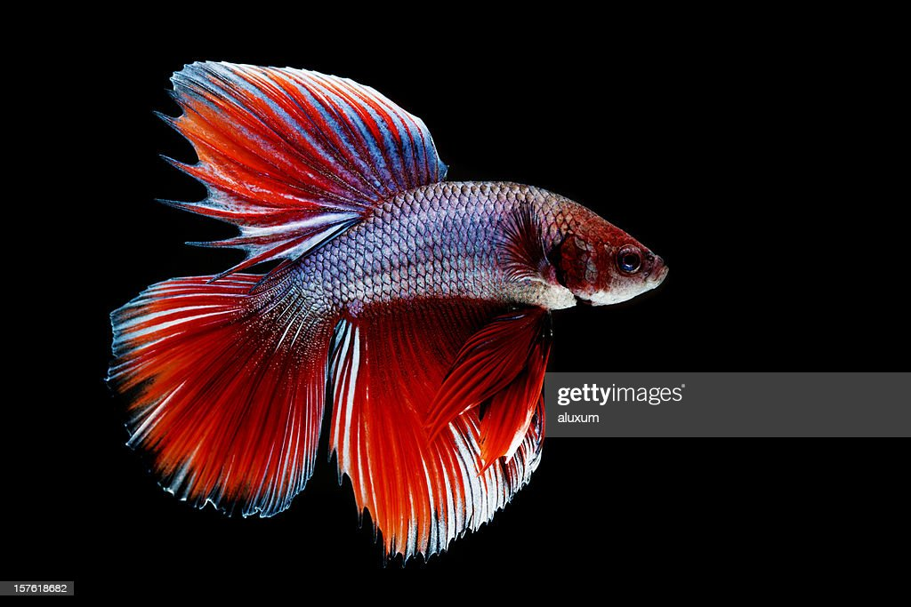 Closeup of siamese fighting fish stock photo getty images for Fish to buy