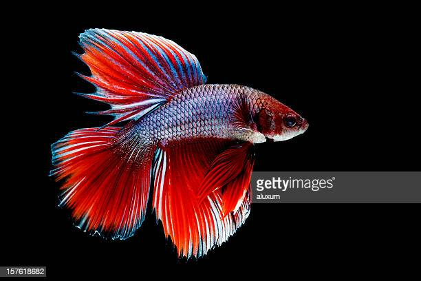 Siamese fighting fish stock photos and pictures getty images for Kampffisch betta