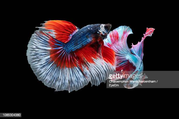 close-up of siamese fighting fish swimming against black background - 熱帯魚 ストックフォトと画像
