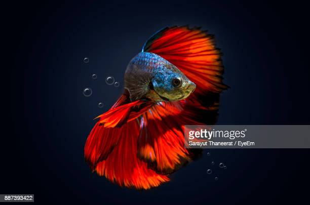 Close-Up Of Siamese Fighting Fish Swimming Against Black Background