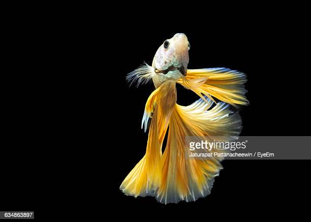Close-Up Of Siamese Fighting Fish Swimming In Tank Against Black Background