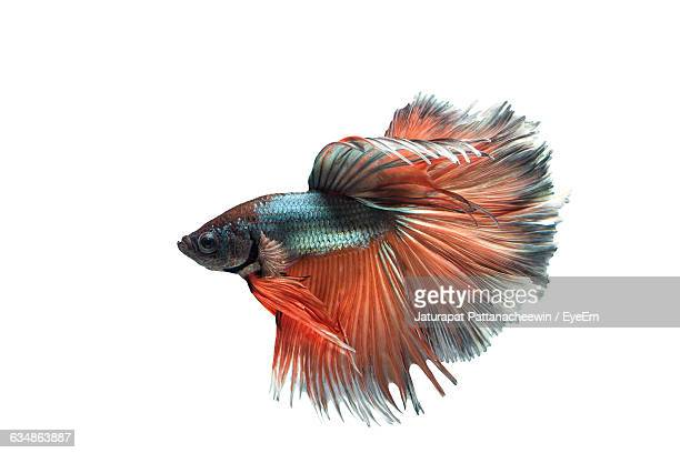 Close-Up Of Siamese Fighting Fish Swimming In Tank Against White Background
