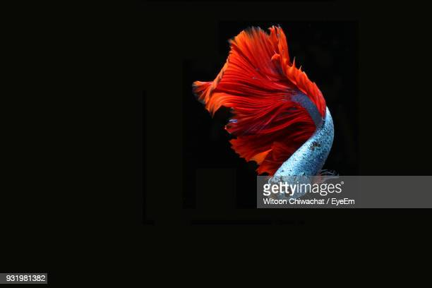 Close-Up Of Siamese Fighting Fish Swimming Over Black Background