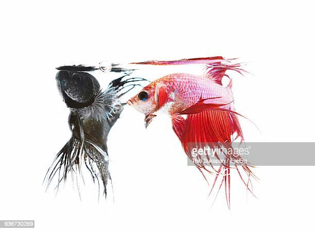 Close-Up Of Siamese Fighting Fishes Against White Background