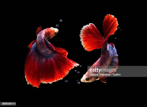 close-up of siamese fighting fishes swimming against black background - siamese fighting fish stock pictures, royalty-free photos & images