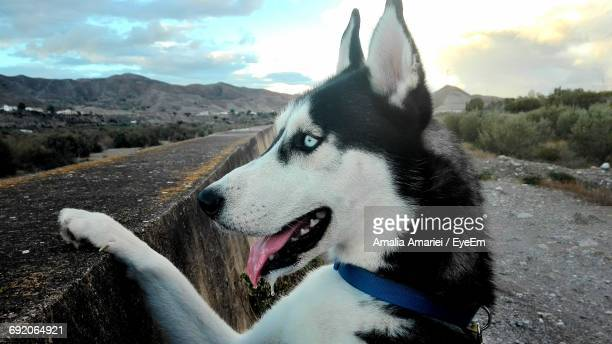 Close-Up Of Siberian Husky Rearing Up On Retaining Wall At Mountain Against Sky