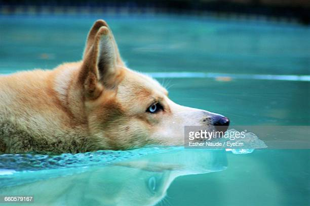 Close-Up Of Siberian Husky Swimming In Pool