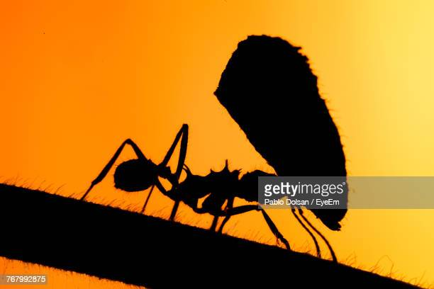 Close-Up Of Silhouette Ant With Leaf Against Sky During Sunset