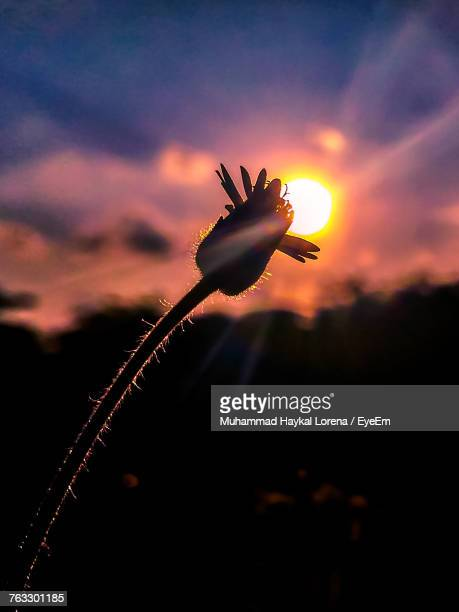 Close-Up Of Silhouette Flower Against Sky During Sunset