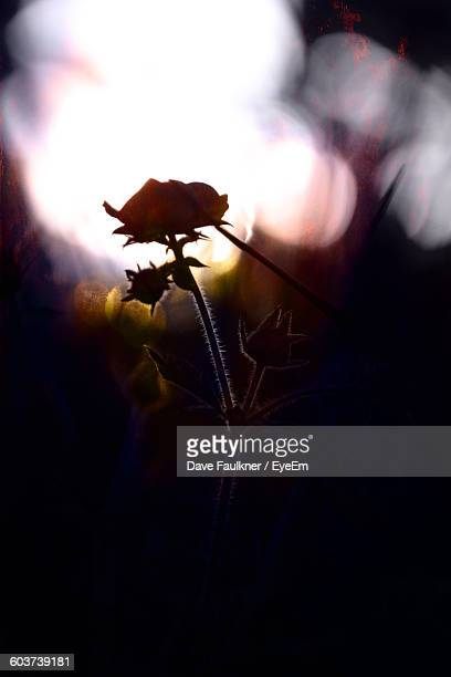 close-up of silhouette flower blooming outdoors - dave faulkner eye em stock pictures, royalty-free photos & images