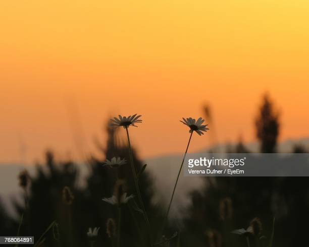 Close-Up Of Silhouette Flowers Blooming On Field Against Orange Sky