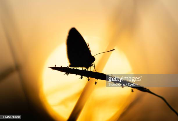 close-up of silhouette moth on plant during sunset - sunset moth stock photos and pictures