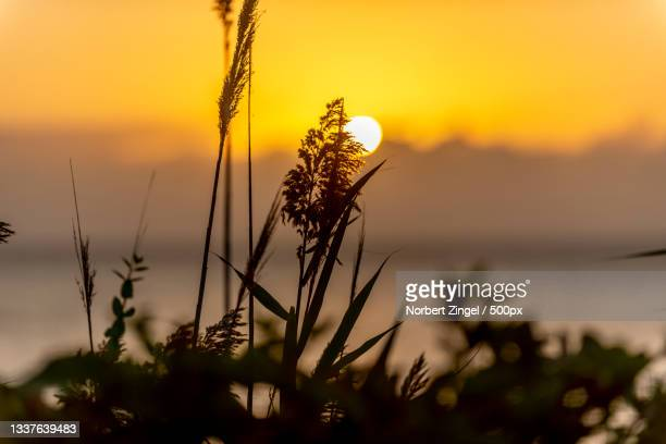 close-up of silhouette of plants on field against sky during sunset,long island,new york,united states,usa - norbert zingel stock-fotos und bilder