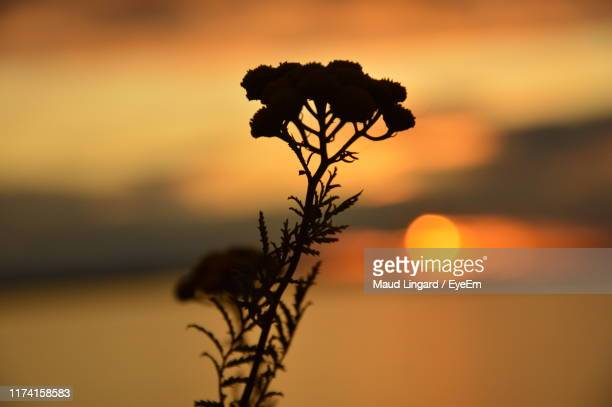 close-up of silhouette plant against orange sky - lingard stock pictures, royalty-free photos & images