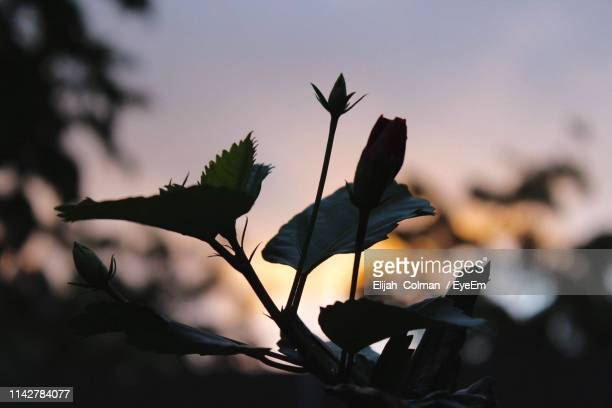 close-up of silhouette plant against sky at sunset - colman stock photos and pictures