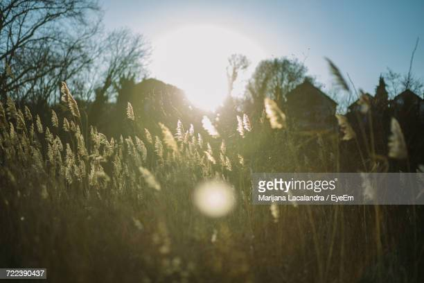 close-up of silhouette plants on field against sky - marijana stock pictures, royalty-free photos & images