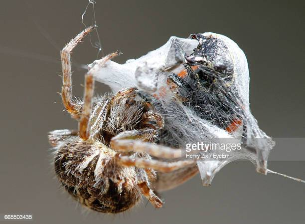 Close-Up Of Silk Spider With Prey On Web