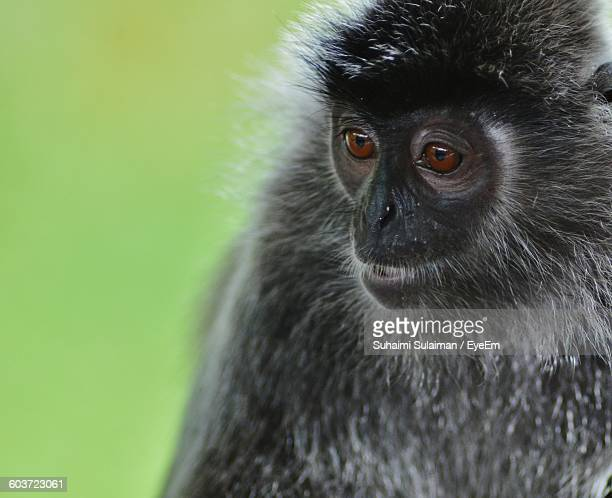 Close-Up Of Silvery Lutung In Zoo