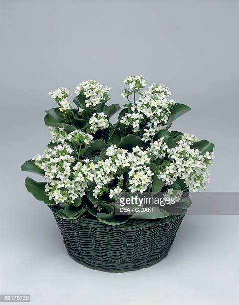 Closeup of Simone flowers growing in a wicker basket