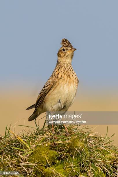 Close-Up Of Skylark Perching On Field Against Clear Sky