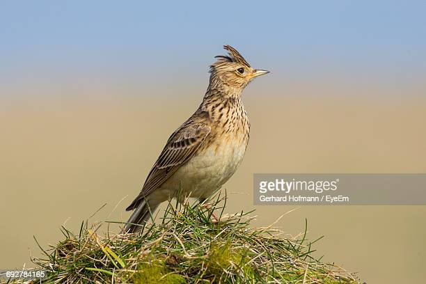 Close-Up Of Skylark Perching On Grass