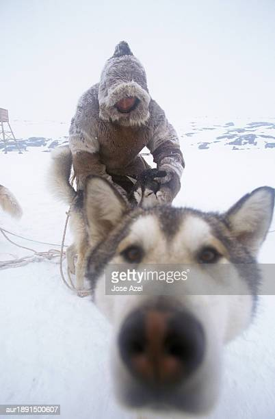 Close-up of sled dog nose and owner sledding on the snowy land, Baffin Islands, Canada.