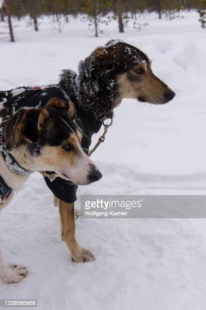 Close-up of sled dogs at the Torne River near the Icehotel in Jukkasjarvi near Kiruna in Swedish Lapland; northern Sweden.