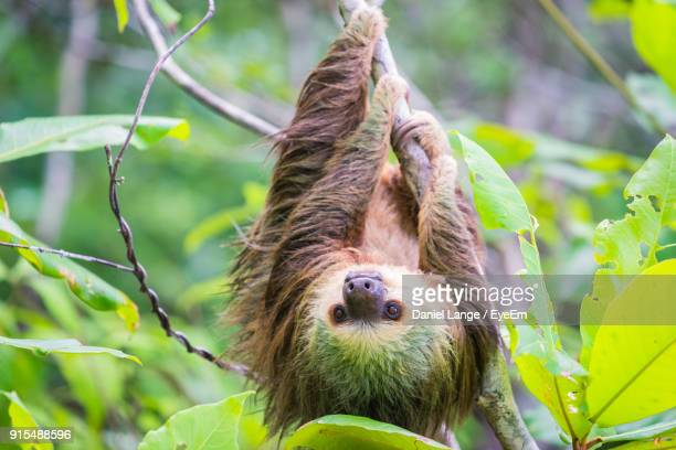 close-up of sloth hanging on tree - bradipo foto e immagini stock