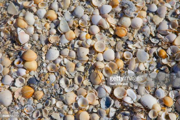 close-up of small colorful shells on jupiter island - blowing rocks preserve stock photos and pictures