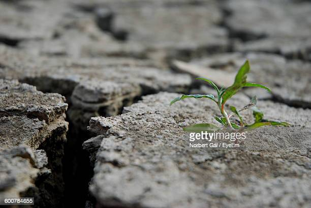 Close-Up Of Small Plant Growing On Cracked Field
