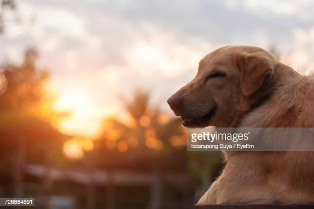 Close-Up Of Smiling Dog Against Sky During Sunset