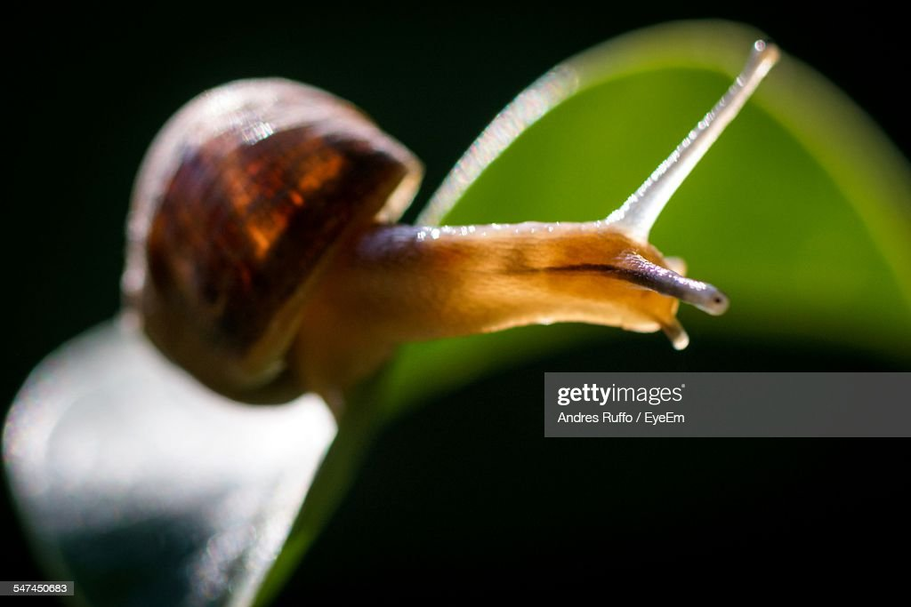 Close-Up Of Snail On Leaf : Stock Photo