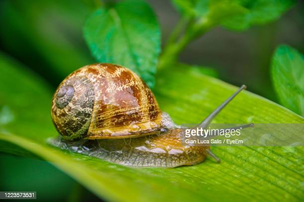 close-up of snail on leaves - invertebrate stock pictures, royalty-free photos & images