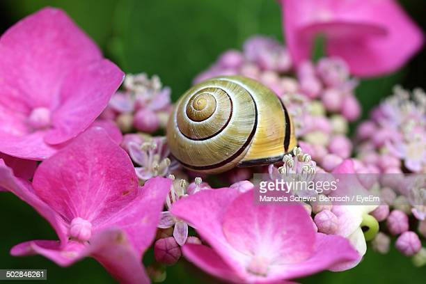 close-up of snail on pink flowers - garden snail stock photos and pictures