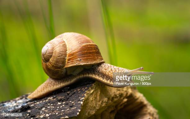 close-up of snail on wood - invertebrate stock pictures, royalty-free photos & images