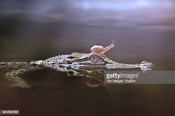 Close-Up Of Snail Over Alligator In Water