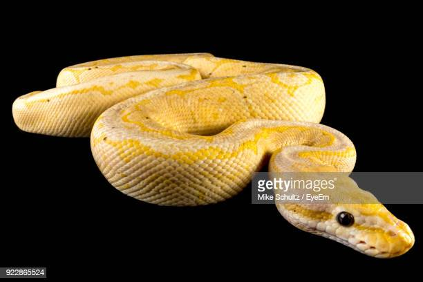 close-up of snake against black background - boa stock pictures, royalty-free photos & images